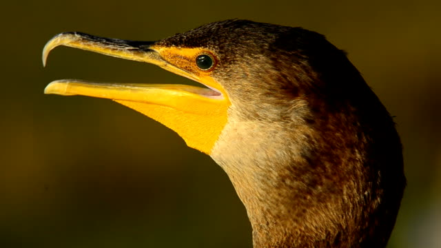 panting cormorant head in evening light - sticking out tongue stock videos & royalty-free footage