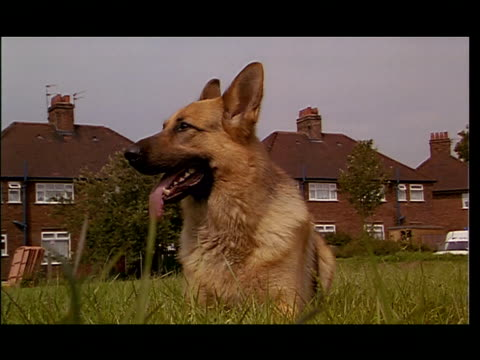 a panting german shepard barks. - pure bred dog stock videos & royalty-free footage