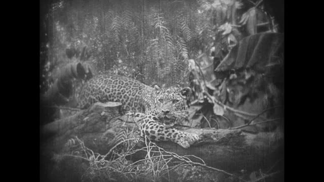 vídeos de stock e filmes b-roll de 1925 a panting leopard rests in the jungle before spotting a fawn near the water - 1925