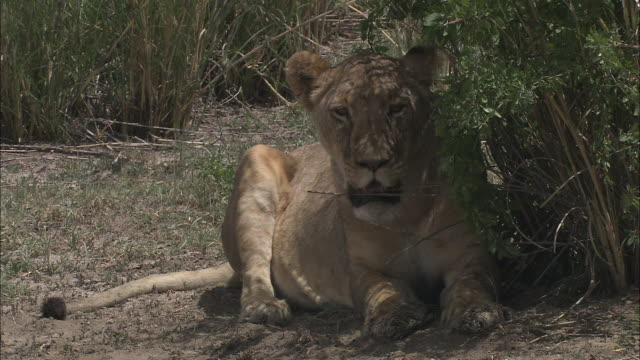 a panting lioness rests in the shade of a bush. - panting stock videos & royalty-free footage