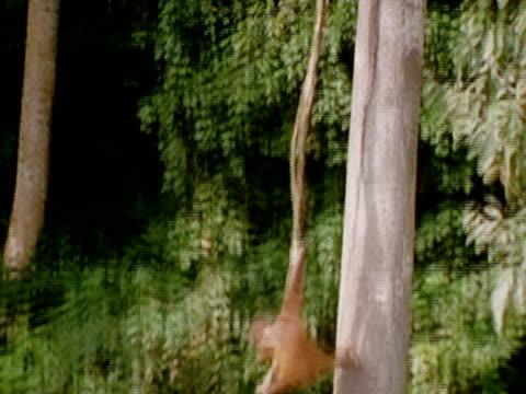 stockvideo's en b-roll-footage met panup of orangutans climbing and reclining in a tree - achterover leunen