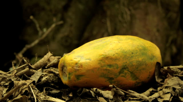 a papaya decomposes. - papaya stock videos & royalty-free footage