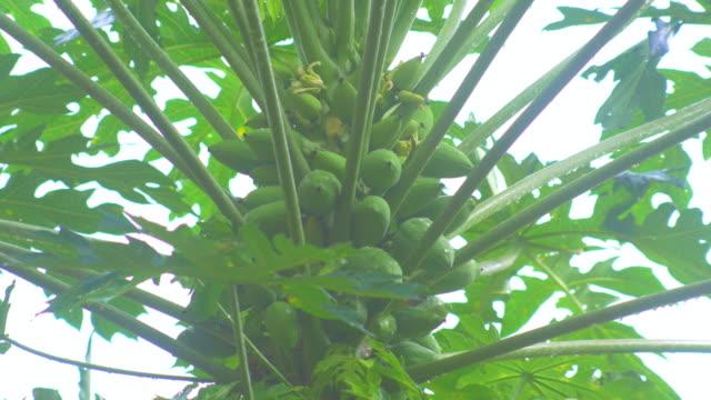 vídeos y material grabado en eventos de stock de fruta de la papaya en árbol en temporada de lluvia - árbol tropical