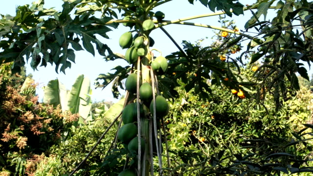 papaya growing on tree in rural venda, limpopo, south africa - papaya stock videos & royalty-free footage