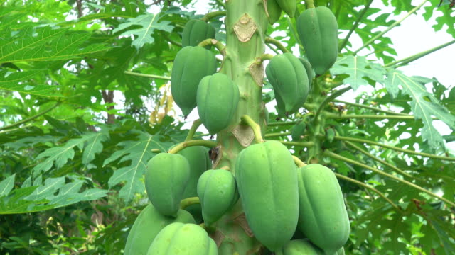 papaya in the garden - papaya stock videos & royalty-free footage