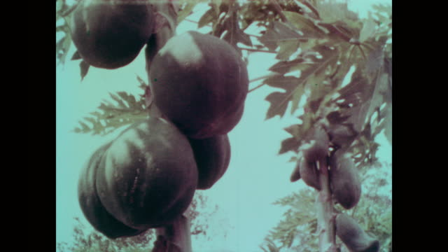 1967 papaya on the tree and sliced on a plate - papaya stock videos & royalty-free footage