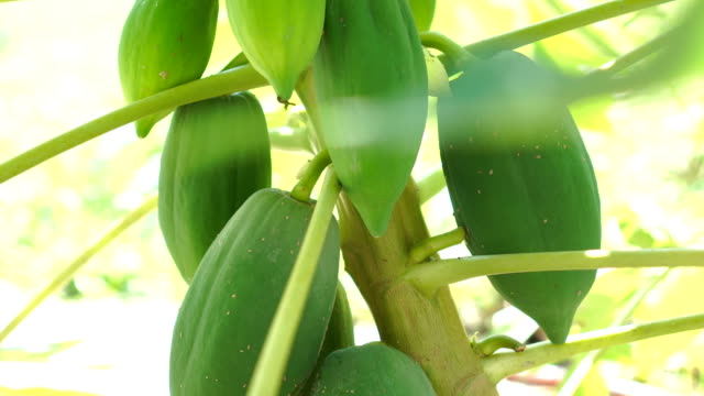 papaya on the tree - papaya stock videos & royalty-free footage