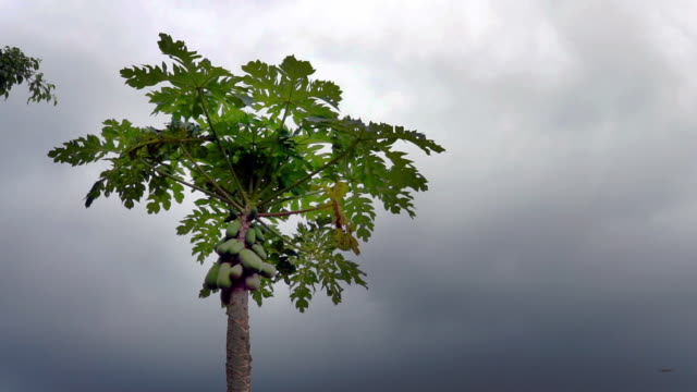 papaya pawpaw tree with fruit on stormy day - tropical tree stock videos & royalty-free footage