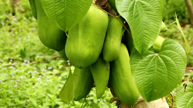 papaya tree - tropical tree stock videos & royalty-free footage