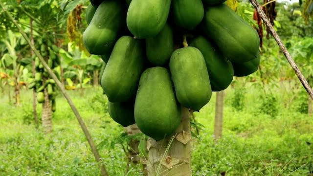 papaya tree - tropical tree stock videos & royalty-free footage