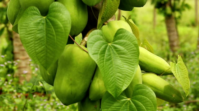 papaya tree - papaya stock videos & royalty-free footage