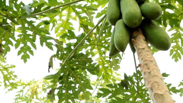vídeos y material grabado en eventos de stock de árbol de papaya - árbol tropical