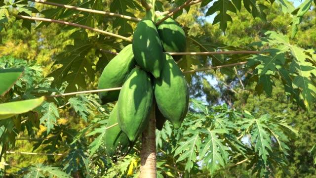 papaya tree - papaya stock videos & royalty-free footage