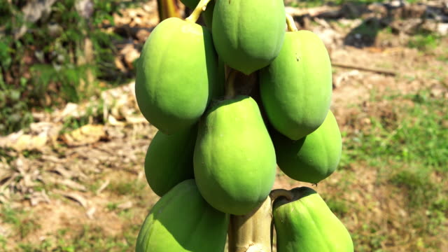 papaya tree with tropical fruits - tropical tree stock videos & royalty-free footage
