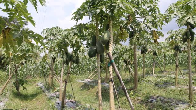 papaya trees with papayas, cornfield in the background - papaya stock videos & royalty-free footage