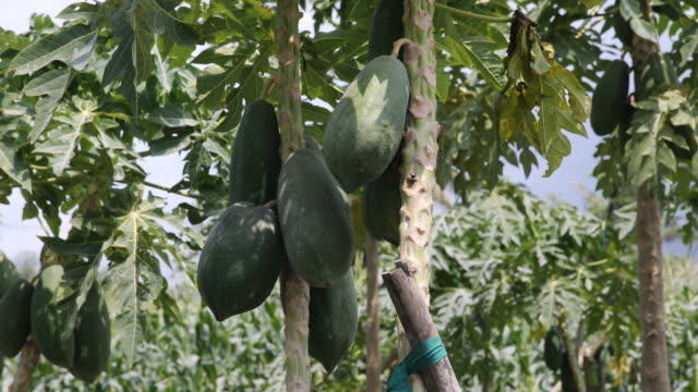 papaya trees with papayas, cornfield in the background - papaya stock videos & royalty-free footage