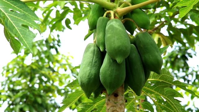 papaya - tropical tree stock videos & royalty-free footage