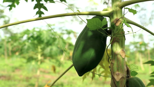 papaya - tropical tree stock videos & royalty-free footage