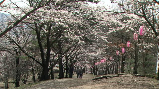 paper lanterns hang from blooming yoshino cherry trees near mt. kobo, japan. - treelined stock videos & royalty-free footage