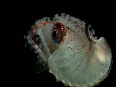 paper nautilus, gulf of mexico - アルゴナウタイ点の映像素材/bロール