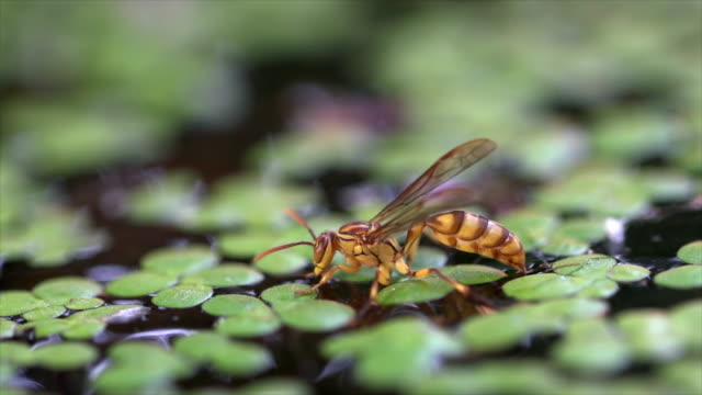 paper wasp (parapolybia indica) drinking water covered with great duckweed (spirodela polyrhiza) - pond stock videos & royalty-free footage