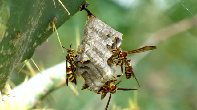 paper wasp nest - prickly pear cactus stock videos & royalty-free footage