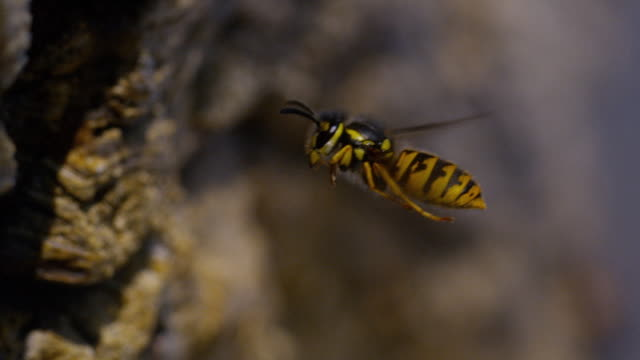 Paper Wasp, polistes sp, Adult in Flight, Normandy, Slow Motion