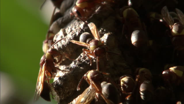 "stockvideo's en b-roll-footage met paper wasps (ropalidia) on nest in forest, madagascar - ""bbc natural history"""