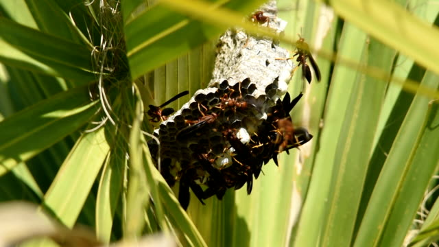 Paper wasps tending to larvae and coccoons on nest