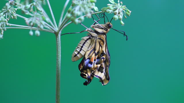 papilio machaon (tiger swallowtail) about to emerge - butterfly insect stock videos & royalty-free footage