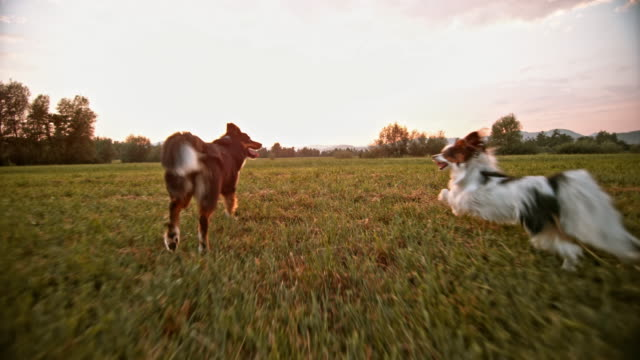slo mo papillon und border collie laufen auf wiese - two animals stock-videos und b-roll-filmmaterial