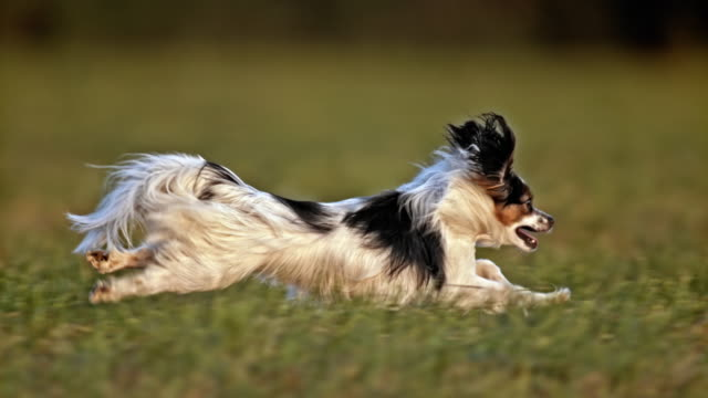 vídeos de stock e filmes b-roll de slo mo ts papillon dog running in meadow - prado