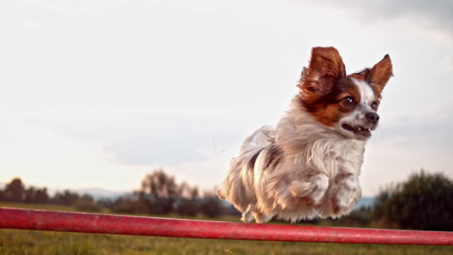 30 Top Dog Hurdle Video Clips and Footage - Getty Images