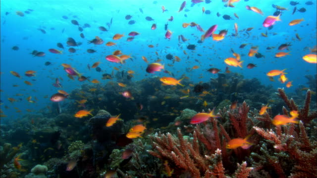 ms, papua new guinea, anthias by coral reef - pacific ocean stock videos & royalty-free footage