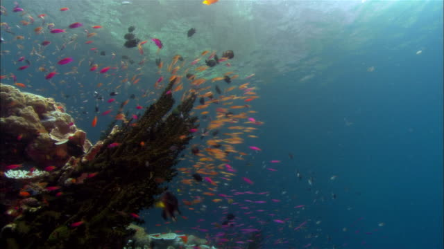 ms, papua new guinea, anthias swimming by coral reef - multi coloured stock videos & royalty-free footage