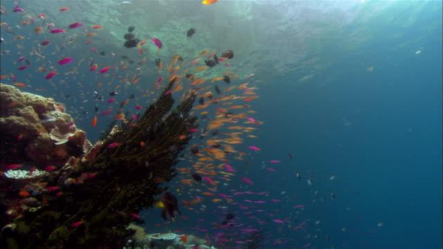 ms, papua new guinea, anthias swimming by coral reef - tropisk fisk bildbanksvideor och videomaterial från bakom kulisserna