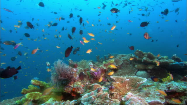 ms, papua new guinea, anthias swimming by coral reef - coral stock videos & royalty-free footage