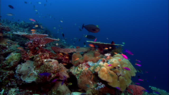 MS, Papua New Guinea, Colorful fishes by coral reef