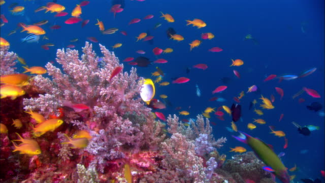 ms, cross process, papua new guinea, colorful fishes by coral reef - saltwater fish stock videos & royalty-free footage