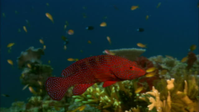 MS, Papua New Guinea, Coral Rockcod by coral reef