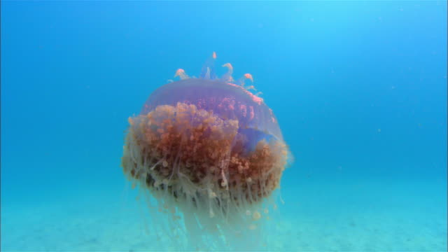 cu, papua new guinea, crown jelly fish swimming in ocean - crown headwear stock videos & royalty-free footage