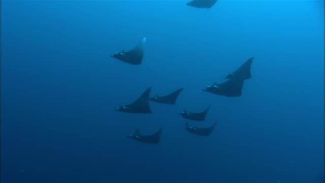 MS, LA, Papua New Guinea, Devil Rays swimming in ocean