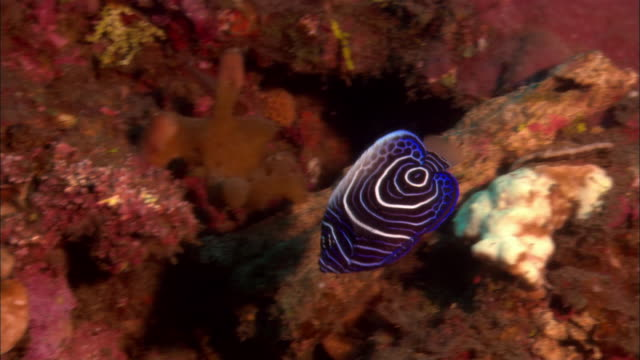 ms, papua new guinea, emperor anglefish  by coral reef - 20 seconds or greater stock videos & royalty-free footage