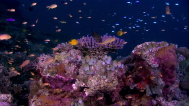 ms, papua new guinea, fishes by coral reef - gruppo medio di animali video stock e b–roll