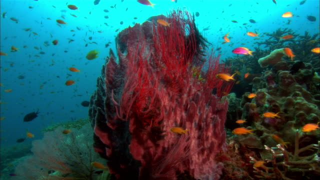 ms, papua new guinea, fishes by red volcano sponge - reef video stock e b–roll