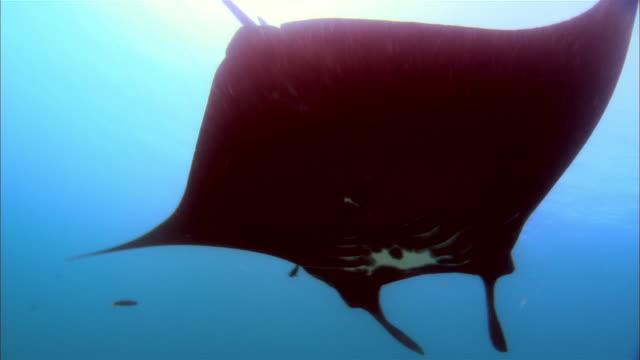 ms, cu, papua new guinea, giant manta swimming in ocean - kleine gruppe von tieren stock-videos und b-roll-filmmaterial