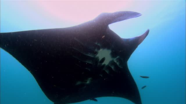 stockvideo's en b-roll-footage met ms, cu, papua new guinea, giant manta swimming in ocean - kleine groep dieren
