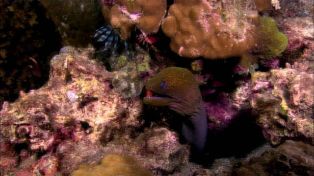 cu, papua new guinea, giant moray eel in coral reef - moray eel stock videos and b-roll footage
