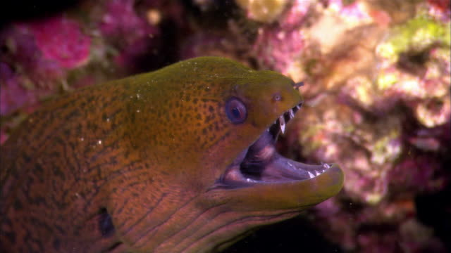 cu, papua new guinea, giant moray eel in coral reef - moray eel stock videos & royalty-free footage