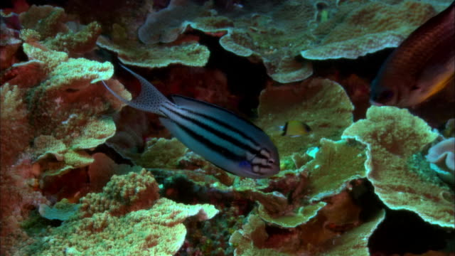 ms, papua new guinea, lamarcks angelfish by coral reef - angelfish stock videos & royalty-free footage